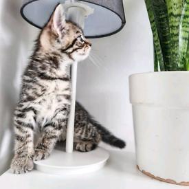 Male Tabby Kitten (8 Weeks)