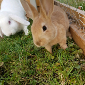 beautiful caramel colored bunnies (only 3 left!)