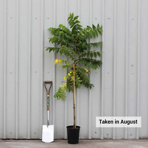 Walnut tree - gorgeous - the strongest tree - pretty palm leaves