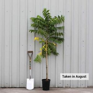 Walnut tree - gorgeous - the strongest tree - pretty palm leaves