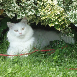 FOUND & HOME SAFE - Pure White Cat, Special Needs Kitty