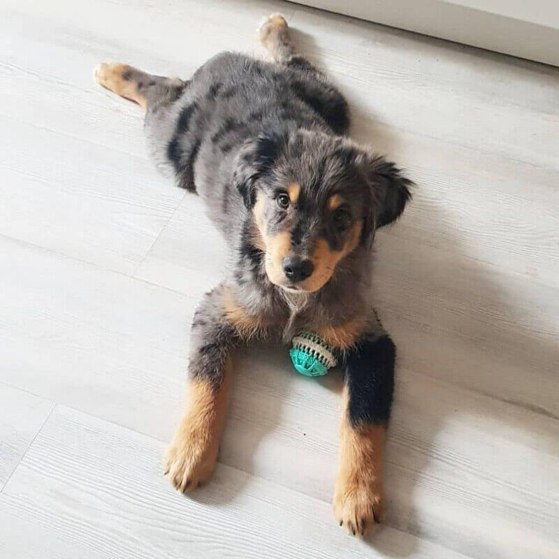 Wanted: Australian Shepherd Mix | Dogs & Puppies for