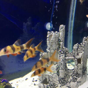 Clown Loach Fish for Rehome