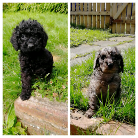Miniature poodle blue merle phantom girl & black boy
