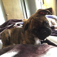 Bugg (Boston Terrier X Pug) puppy for sale, 14 weeks old