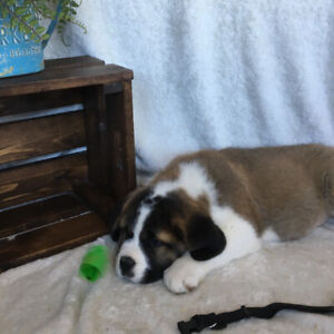 Amazing Saint Bernards Ready for their new Homes!!