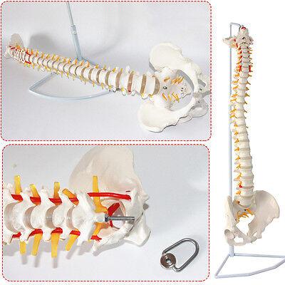 Medical Anatomical Study Spine Model Life Size Human Spinal Column Model