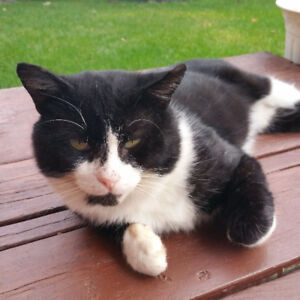 Lost Black and White Cat Mccowan/14th Ave
