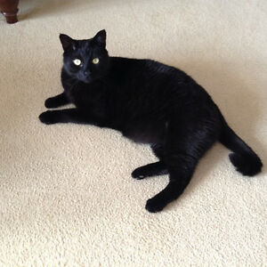LOST BLACK MALE CAT - VERY AFFECTIONATE