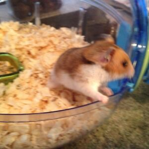 Hamster avec cage a donner