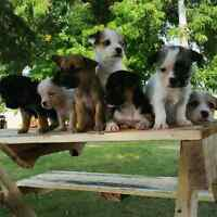 Terrier x Chihuahua puppies FOR SALE