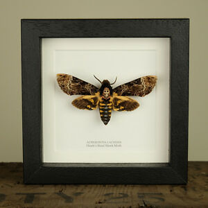 Deaths Head Hawk Moth in Box Frame (Acherontia lachesis) Insect Taxidermy