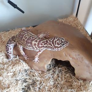 Gecko Leopard, ensemble complet.