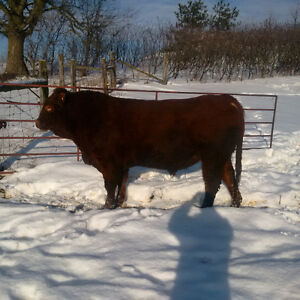 Two Red Limo Bulls For Sale