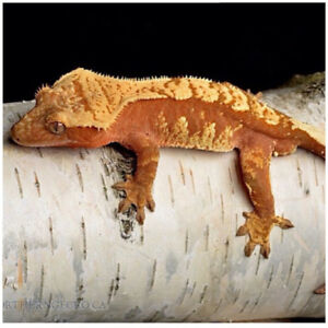 Northern Gecko- Proven Male with ZOO MED TERRARIUM