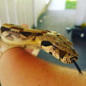 Female hypo boa constrictor plus pvc cage with accessories/light