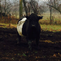 Belted Galloway Bulls