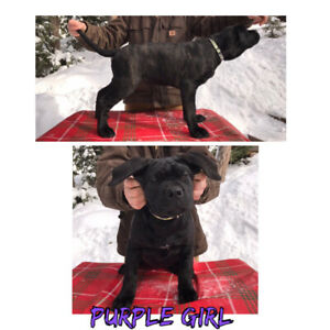 Registered ICCF Cane Corso Puppy's