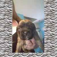 Boxer/Husky Puppies For Sale! (1 female left)
