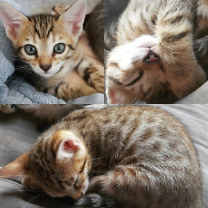 Dutone Double arrow head rosetted Bengal Kittens - Vaccinated