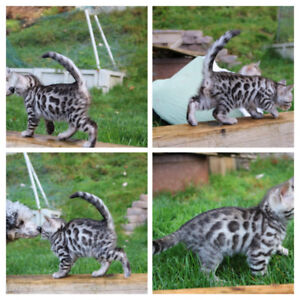 Stunning silver bengal cubs ready to go Christmas!