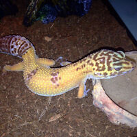 Beautiful Female Leopard Gecko & Cage For Sale