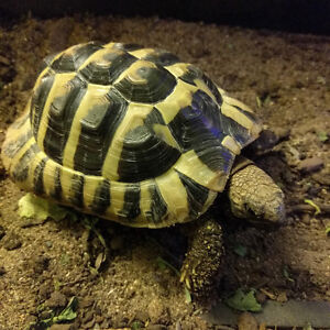 $450 OBO ~ Tortoise ~ Enclosure Included ~ Lots of extras