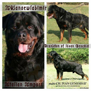 REGISTERED GERMAN ROTTWEILERS, BOTH PARENTS EUROPEAN IMPORTS