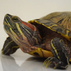 Large Turtle Needs New Home