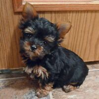 Biewer Yorkshire Terrier (Yorkie) puppies, 12 weeks old, male