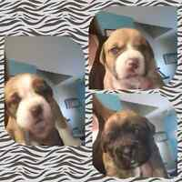 Boxer/Husky Puppies For Sale! (3 females left)