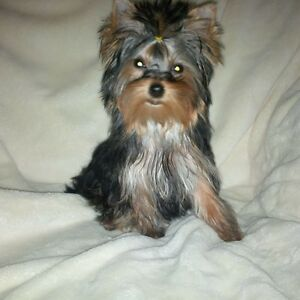 ♡♡ Teacup ♡ Yorkie/Yorkshire Terrier♡ Baby Girl ♡ Charting 3lb♡