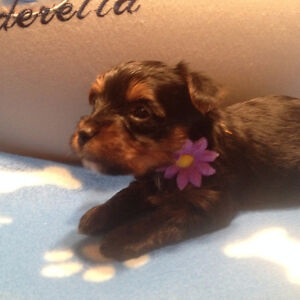 Yorkshire Terrier puppies ALL SOLD!!!