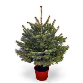 Do you have a potted Christmas Tree