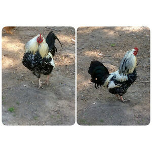 Beautiful Roosters, 3 To Choose From - St. Thomas