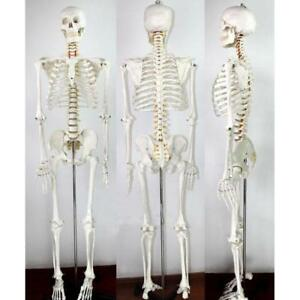 Life Size Human Skeleton Anatomical Medical Model Full Body 170cm 220272