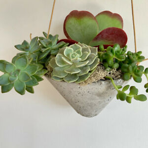"LARGE Healthy Succulents Hanging Stone Garden - 9"" tall by 8"" wi"