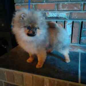 2 CKC Registered  Male Pomeranian Puppies available for PET ONLY