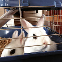 Free Hotot rabbit