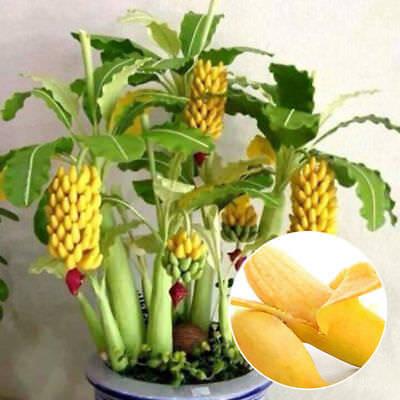 100pcs Rare Dwarf Banana Tree Seeds Mini Bonsai Garden Plant Exotic Fruits