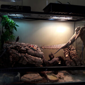 bearded dragon with enclosure and everything you need