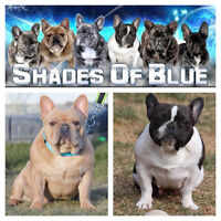 CKC French bulldog puppies have arrived!!!