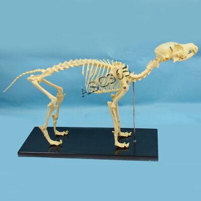Education Model Canine Skeleton Standard Size Dog Display Lab Study Veterinary