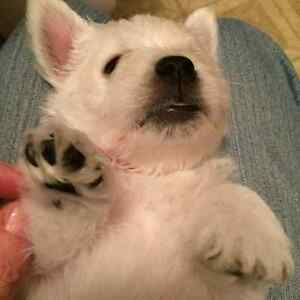 West Highland White Terrier pups