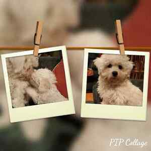 BIchon Frise Puppies! Home Raised. Males  Available! Kitchener / Waterloo Kitchener Area image 5