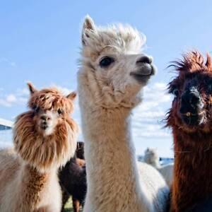 Creswick Wool - Alpacas Travel Across Victoria Creswick Hepburn Area Preview