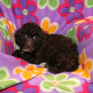 Female Toy/Mini Poodle Puppies