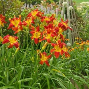 Coral Day Lillies