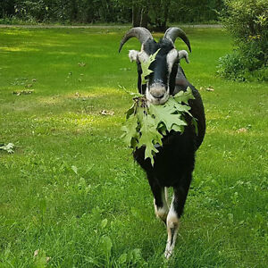 Seeking wethered goat/sheep! Will also consider females.
