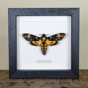 Deaths Head Hawk Moth in Box Frame (Acherontia atropos) Real Framed Moth